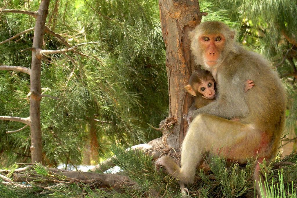 Tình mẫu tử của loài Khỉ