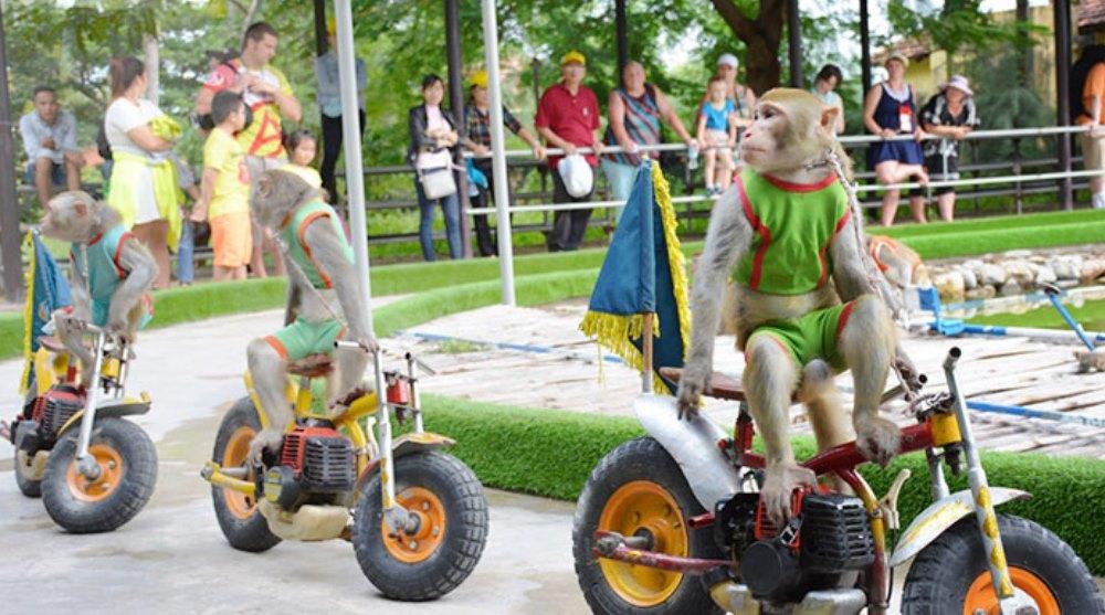 Trò chơi Khỉ đua moto ở Hòn lao