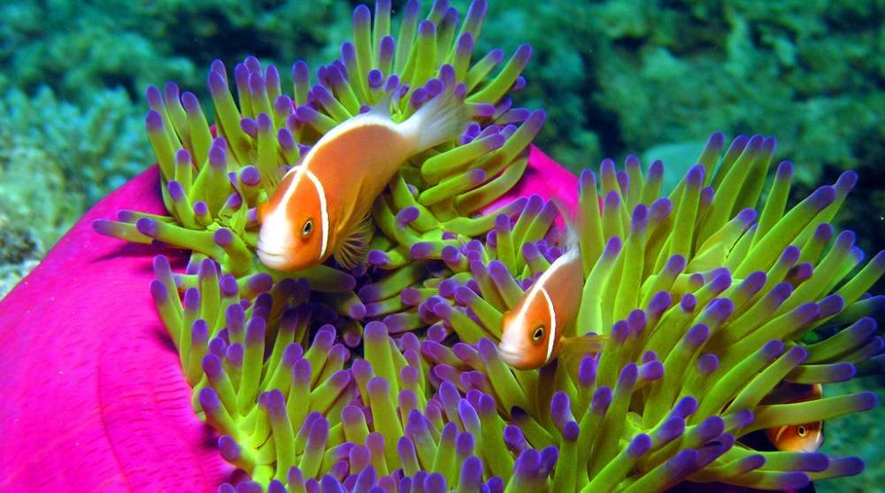Cá Hề - lan ngam san ho nha trang